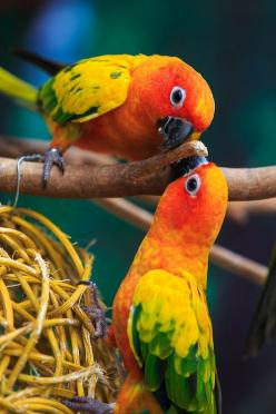 The Sun Parakeet or Sun Conure (Aratinga solstitialis) is a medium-sized brightly colored parrot native to northeastern South America. - via Alex Shar: Animals, Google, Poultry, Sun Conures, Beautiful Birds, Pumidol Leelerdsakulvong