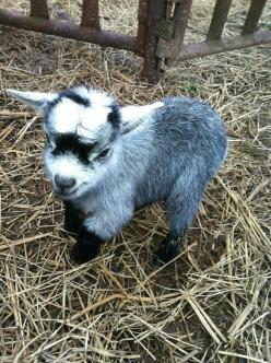 The Terrible Truth About Adorable Baby Goats. ( I DON'T CARE THEY SO CUTE!): Farm Animals, Babies, Babygoat, Pigmy Goat, Pygmy Goat, Mini Goat, Baby Animal, Baby Goats