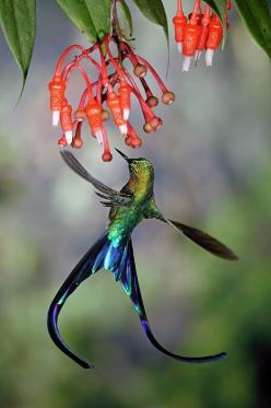 The Violet-tailed Sylph (Aglaiocercus coelestis) is a species of hummingbird. It is found in Colombia and Ecuador. This Sylph lives in areas from 300–2,100 metres (980–6,900 ft) in elevation, though typically above 900 metres (3,000 ft) on the west slope
