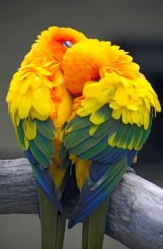 They kinda look like a love heart shape. Cutest!: Animals, Sweet, Nature, Color, Parrots, Sun Conures, Beautiful Birds, Photo