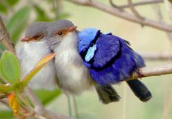 This amazing Birdy Family Photo, just made my day, such infinite beauty and unconditional LOVE...: Photos, Fairy Wrens, Animals, Sweet, Nature, Beautiful Birds, Fairywren