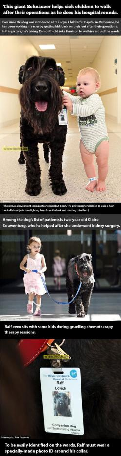 This dog is awesome: Therapy Dogs, Amazing Dogs, Reason Dogs, Companion Dog, Giant Schnauzer