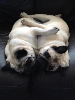 This is a perfect of how Pugs feel about each other... we could all learn from this breed.: Animals, Dogs, Pug Life, Pet, Pug Hugs, Pug Love, Pug Luv, Puggie, Pugs Pugs