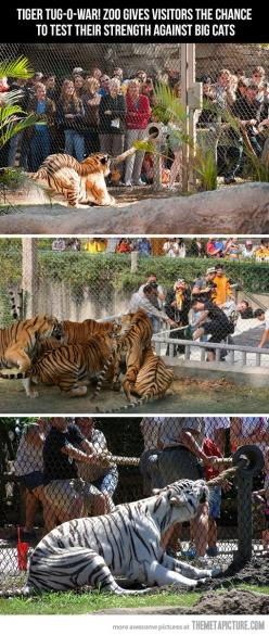 This is actually awesome: Bucketlist, Bucket List, Idea, Big Cats, Busch Gardens, Tiger Tug O War, Tug Of War, Tigers, Animal