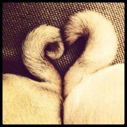 This is the cutest thing ever. Looks like my babies' tails. They are so in love with each other :) #pug: Pug Tails, Pug Life, Pug Love, Pugs, Dog, Pug Heart, Animal