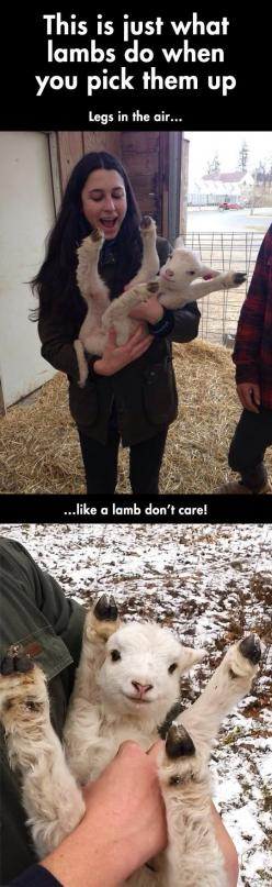 This is the cutest thing in the entire universe.: Baby Lamb, Funny Pictures, Don T Care, Goat, Box, Lamb Don T, Animal