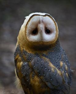This owl, known as Minerva, seemed to be intrigued by the snapping of the camera lens. It kept turning its head until it flipped 180°.  photo: Lisa Kee: Animals, Nature, Children, Upside, Head, Birds, Photo, Hoot, Barn Owls