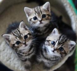 "Three little kittens they lost their mittens, and they began to cry, ""Oh mother dear, we sadly fear that we have lost our mittens.""  ""What! Lost your mittens, you naughty kittens! Then you shall have no pie."": Cats, Kitty Cat, Animals, Cut"