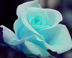 Tiffany Blue Rose: Color, Tiffany Blue, Rose Garden, Blue Flower, Flowers, Beautiful Rose, Blue Roses
