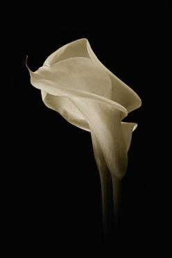 "To the Romans, the calla lily was symbolic of lust and sexuality, whereas the flower resonated with the Greeks to mean ""magnificent beauty"": Photos, Favorite Flowers, Lilies Black And White, Calla Lilies, Lilies Beautiful Flowers, Flowers Lilies,"