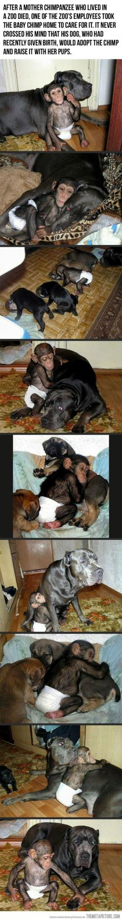 too precious: Animals, Sweet, Adopts Baby, Baby Chimpanzee, My Heart, Cutest Things, Baby Monkeys, Dog Adopts, Cane Corso
