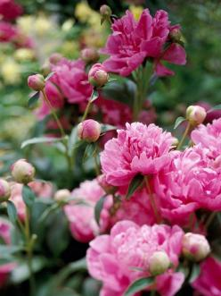 Top Rabbit-Resistant Plants:  Peony  |       Peonies are as rabbit-resistant as they are beautiful. These long-lived perennials are tough, too -- as long as you stake up their heavy late springtime flowers to keep them from spilling on the ground after a