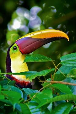 Toucan in Costa Rica.  Tropical jungle, zip lining, fantastic wildlife, beautiful beaches.  Costa Rica is an adventure lovers paradise.: Animals, Costa Rica Animal, Costa Rica, Beautiful, Toucan, Birds