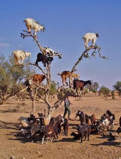 tree climbing goats Have you ever seen tree climbing goats? Apparently goats on the trees is a common thing in Morocco. Moroccan goats unbelievably easy get on the highest tops of argan trees to reach so loved fruit similar to olives: Animals, Argan Tree,