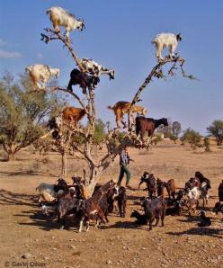 Tree of goats: Animals, Climbing Goats, Argan Tree, Trees, Funny Animal, Morocco