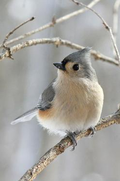 "Tufted titmouse. Leaves a lot of her ""tuft"" in her nest every year.: Rose, Tufted Titmouse, Titmouse Bird, Cute Bird, Photo Sharing, Favorite Bird"