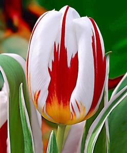 Tulip 'Happy Generation' ®          Beautiful. - Looks like a skewed Canadian flag with the red maple leaf on white: Color, Flowers Plants, Beautiful Flowers, Pretty Flowers, Gardens, Tulips, Flowers