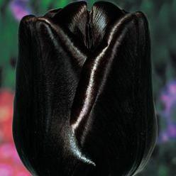 "Tulip --'Queen of the night'--Rare, maroon-black flowers on 28-30"" stems provide sensational contrast in borders and arrangements. Longtime favourites in Holland, each of these spectacular tulip varieties: Queen Of, Queens, Black Flowers, Gard"