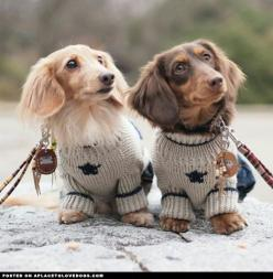 Two Adorable Dachshunds • APlaceToLoveDogs.com • dog dogs puppy puppies cute doggy doggies adorable funny fun silly photography: Doggie, Puppies, Daschund, Animals, Dogs, Dachshund, Pet, Doxies, Puppy