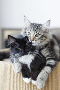 Two lovely cats  #showmecats #thebeauty: Cats Cats, Kitty Cats, Kitten, Animals, Friends, Maine Coon, Kitty Kitty, Feline