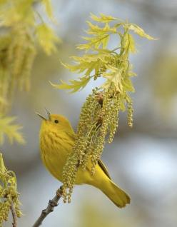 unidentified yellow bird (maybe an American yellow warbler) with oak leaves & blossoms. -LW --- Yellow bird of happiness or Hope..that thing with feathers: Color, Mellow Yellow, Yellow Warbler, Beautiful Birds, Yellow Birds, Animal