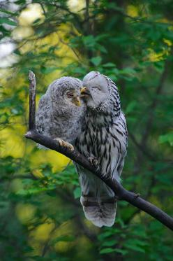 Ural Owls ~ mother & baby owlet: Babies, Animals, Sweet, Mothers, Nature, Baby Owls, Birds
