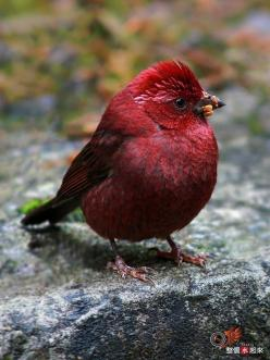 Vinaceous Rosefinch - Carpodacus Vinaceus: Animals, Purple Bird, Color, Birdie, Purple Passion, Pretty Birds, Beautiful Birds