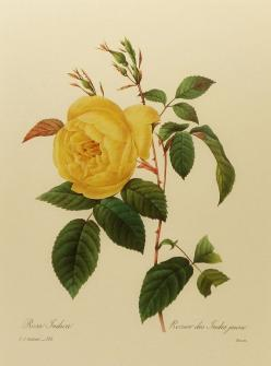 Vintage Rose Botanical Illustration Yellow India von earlybirdsale, $5.00: Botanical Illustration, Art Prints, Tea Roses, Yellow Roses, Botanical Art, Antique, Flower