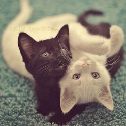 Violet Voice - Yin and Yang by `shyble on deviantART: Cats, Animals, Black And White, Kittens, Kitties, Kitty, Yin And Yang, Cat Lady, Yin Yang