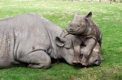 Wake up! MOM! We're out of cherry flavored Poptarts. All we have left is that disgusting Unfrosted Brown Sugar Cinnamon flavor... Why did we even buy those?!: Babies, Mothers, Babyrhino, Creatures, Baby Animals, Rhinos, Baby Rhino, Mom