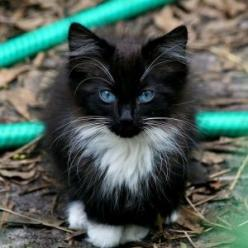 What a beautiful cat...and I'm not even a cat person, but this guy is gorgeous...but my heart belongs to Scuddles!: Kitty Cats, Beautiful Cat, Animals, Pet, Blue Eyes, Kittens, Baby, Kitties