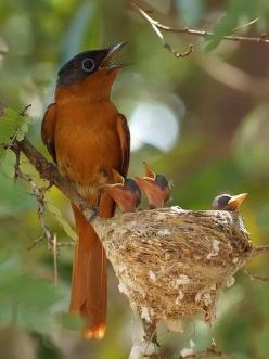 What if there is no reason to hold back our gifts, because they are meant to be given? https://www.facebook.com/DreamworkWithTokopa: Madagascar Paradise Flycatcher, Malagasy Paradise, Nature, Bird Nests, Beautiful Birds, Animal