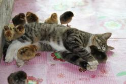When a Chinese farmer's cat came across thirty chicks that escaped from their enclosure, the farmer feared the worst — but instead, the cat became their mother hen, licking and playing with the Chicken McNuggets.: Chicken, Cats, Animals, Friends, Pet, Kit