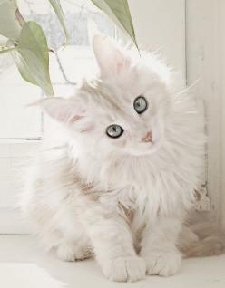 White Maine Coon. Wauw. Love it!  Please pin!  And share this beautifull cat with the world!: Kitty Cats, Beautiful Cat, Maine Coon, Pet, White Cats, Kitty Kitty, Animal, Mainecoon