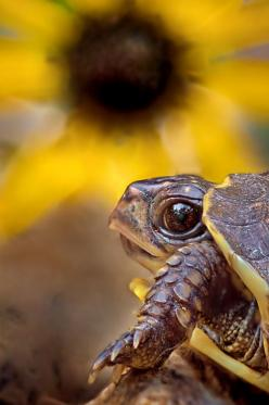 Who me! Eating the flowers? By: Robert Charity  Possibly the cutest #turtle photo I've seen.: Animals, Turtles Tortoises, Big Eye, Photo, Flower, Baby Turtles