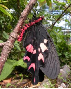 Windmill Swallowtail Butterfly: Beautiful Butterflies, Flutterby, Swallowtail Butterfly, Windmill Swallowtail, Windmills