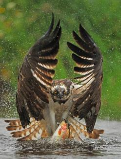 Winning image of the Best Shots photographic competition 2013, Animal section.... Magnificent Osprey catching a wuite unsuspecting rainbow trout... Good catch.. Amazing photography: Photos, Animals, Nature, Owl, Eagles, Birds