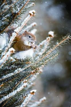 winter.... -- [REPINNED by All Creatures Gift Shop]  It isn't easy living out there in the woods.: Winter Snow, Animals, Winter Squirrel, Squirrels, Winter Wonderland, Christmas, Ecureuil