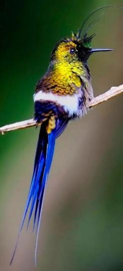 Wire-Crested Thorntail - a hummingbird which is found in Colombia, Ecuador and Peru. Image via Paradise of Birds on Facebook: Humming Birds, Animals, Ecuador, Beautiful Birds, Hummingbirds, Thorntail Hummingbird, Hummer, Wire Crested Thorntail