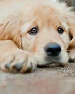 Worry?Longing? Not an expression one would expect in such a cute puppy. His eyes look a million years old.: Face, Animals, Dogs, Golden Retrievers, Pet, Friend, Golden Retriever Puppies, Eye