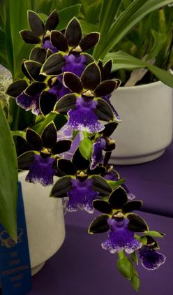 Yoked Petal Orchids: Orchid, Orchids, Beautiful Flowers, Flowers, Petal Orchid, Garden, Yoked Petal, Orquidea
