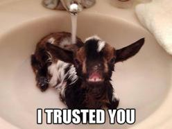 You Can't Trust Anyone These Days  // funny pictures - funny photos - funny images - funny pics - funny quotes - #lol #humor #funnypictures: Babies, Animals, Funny Pictures, Bath, Sink, I Trusted You, Baby Goats