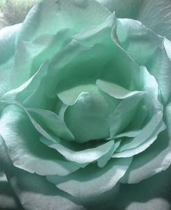 ZsaZsa Bellagio: Aqua Elegance: Mint Green, Color, Beautiful, Roses, Blue Rose, Aqua, Flowers, Garden