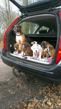 19 Reasons Boxers Are Actually The Worst Dogs To Live With: Boxer Dogs, Boxers Dogs, Pet, Puppy, Adorable, Baby, Animal