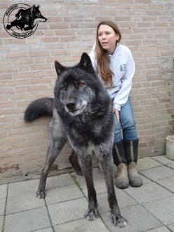 3 Big wolf hybrid dogs with their masters: Wolf Hybrid Dog, Wolf Pet, Dogs, Wolfdog, Scary Dog, Animal