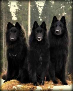 3 Black Beauties.- the black wolf is a melanistic colour variant of the grey wolf. Genetic research from the Stanford University School of Medicine and the University of California, Los Angeles revealed that wolves with black pelts owe their distinctive c