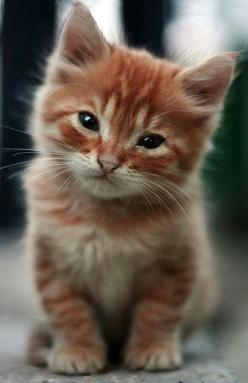 """In my world, the grass is green, the sky is blue and all cats are orange."" --Jim Davis (Jim Davis, creator of ""Garfield""): Kitty Cats, Ginger Kitten, Sweet, Ginger Kitty, Adorable Kitten, Baby, Orange Kittens, Cats Kittens, Animal"