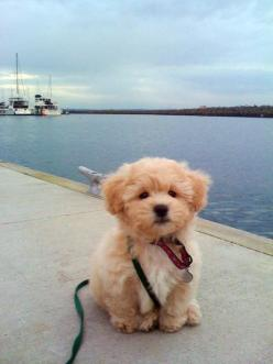 """its called the ""teddy bear dog"" . Half shih-tzu and half bichon frise.  I need it: Doggie, Cuties, Sweet, Teddy Bears, Puppys, Animalss, Teddy Bear Dog"