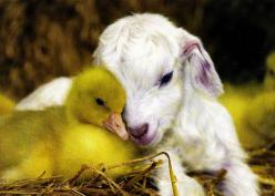 """""""So I just thought you should know that they are going to let your hair grow nice and long and just when you love the length, they will shave you to knit ugly socks for the neighbors.  You deserve to know"""": Farm Animals, Sweet, Friends, Duckling,"""
