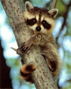 """* * """" Whens in doubt, climbs de nearest tree ands holds on fer yer life."""": Babies, Babyraccoon, Baby Raccoon, Sweet, Tree, Baby Racoon, Pet, Raccoons, Baby Animals"""